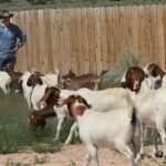 Galloping goats gobble way to new job