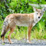 Wildlife trots in Rio Rancho: Keep pets secure, do not feed coyotes